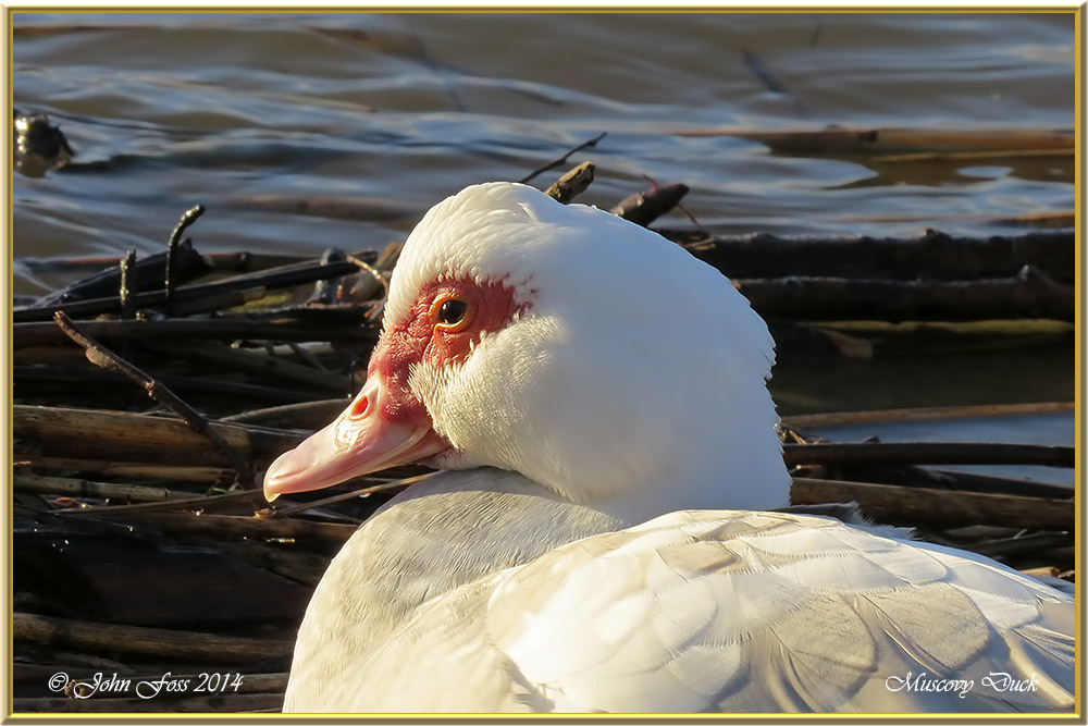 wild muscovy ducks